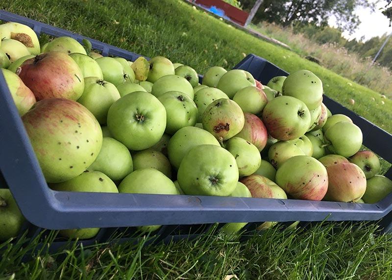 Hur gör man äppelmust - förberedelser 4