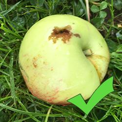 Hur gör man äppelmust - förberedelser 1