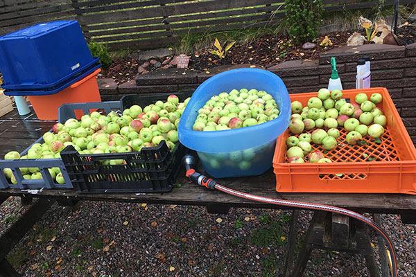 Hur gör man äppelmust - dags att musta äpplen 2