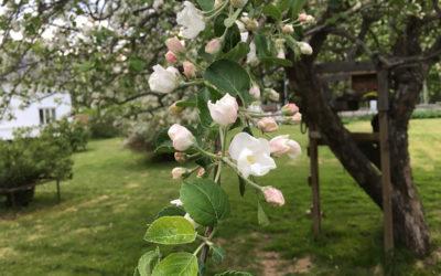 Äppelträden går i blom