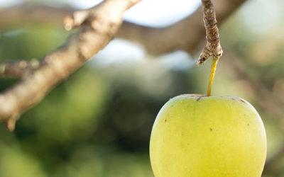 Årets första äppelmust