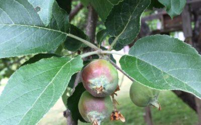 Nya äpplen på väg