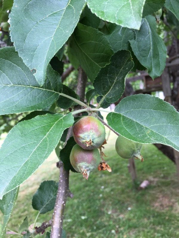 Nya äpplen på väg 1