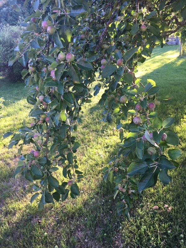 Massor av äpplen 1