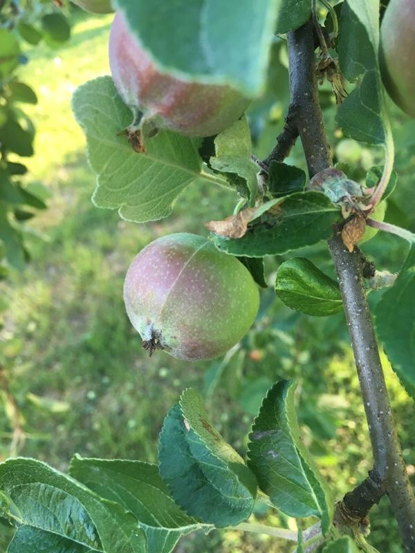 Massor av äpplen 2