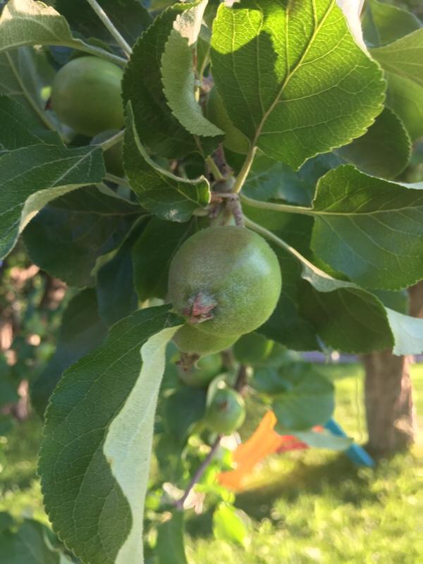 Massor av äpplen 5