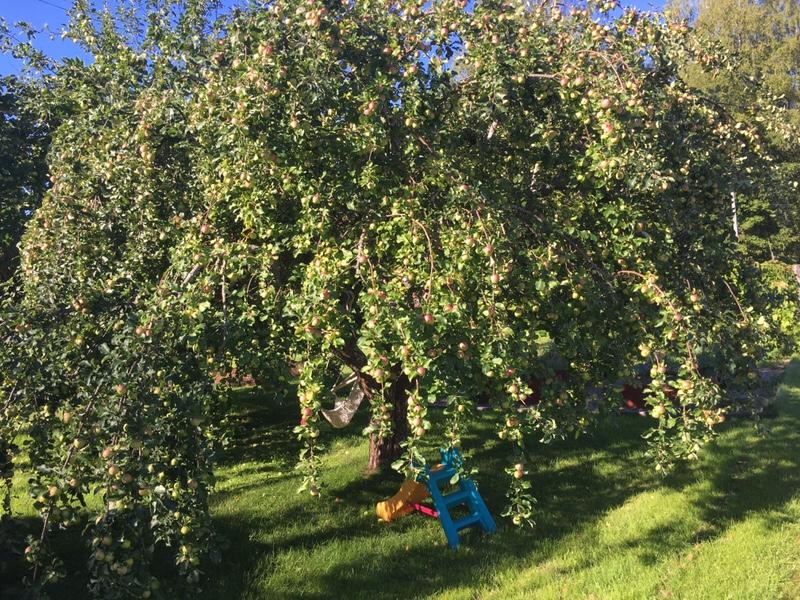 Snart dags att göra äppelmust 2