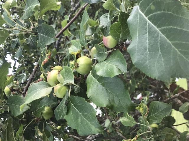 Äppelår 1