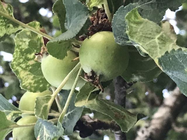 Äppelår 2