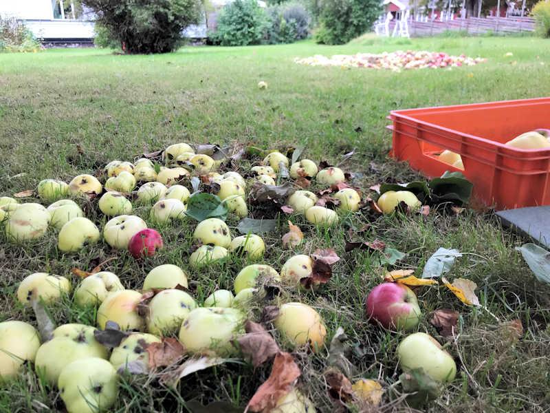 Göra egen äppelmust med elektrisk kross och hydropress 1