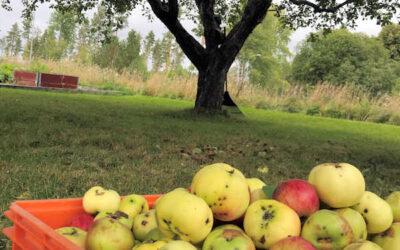 Göra egen äppelmust med elektrisk kross och hydropress