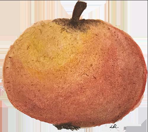 Om äpplen, äppelmust och cidertillverkning 1
